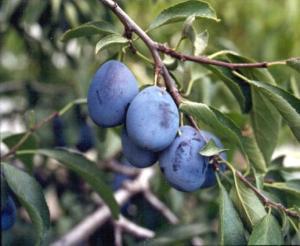 italian_prune_plum