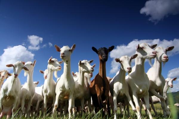 goatsmotion