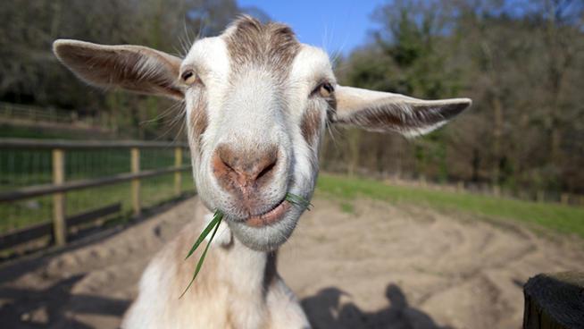 goatssly.jpg