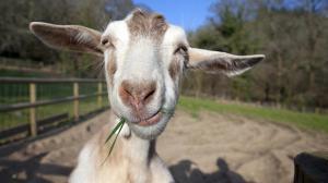 goatssly