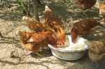 chickens 038