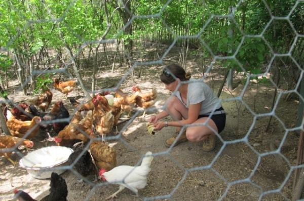 chickens 040