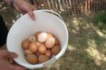 chickens 041