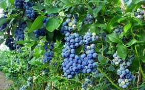 blueberriesonvine